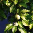 Closeup of wild apple tree with fruits — Stock Photo