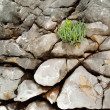 Plant growing from rocky cliff — Stock Photo