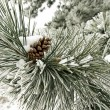 Pine branch covered in snow - Stock Photo