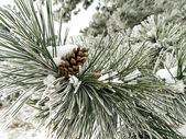 Pine branch covered in snow — Stock Photo