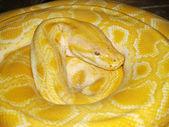 Gele python — Stockfoto