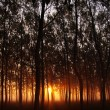 Stock Photo: Dawn in forest
