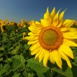 Stock Photo: Yellow sunflower