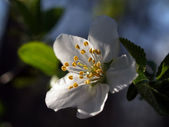 Single cherry flower — Stok fotoğraf
