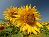 Two large sunflowers — Stock Photo