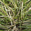 Semi-dry leaves of tall grass — Stock Photo #2414155