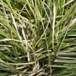 Semi-dry leaves of tall grass — Stock Photo