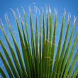 Stock Photo: Symmetrical palm leaf against blue sky