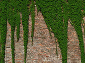Old brick wall covered with vines — Stock Photo