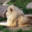 White lion — Foto de Stock