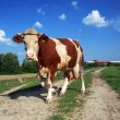 Cow on the road — Stock Photo