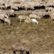 Sheep and goat herd — Stock Photo