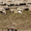 Sheep and goat herd - Stock Photo