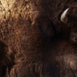 Bison texture — Stock Photo