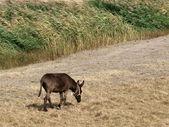 Pâturage d'âne — Photo