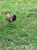 Rooster in field of flowers — Stock Photo