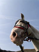 White horse in harness — Stock Photo