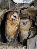 Two barn owl in a rocky cave — Stock Photo
