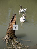 Two dirty swans in polluted pond — Stock Photo