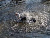 Pato salpicaduras de agua — Foto de Stock