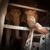 Elefantes del circo — Foto de Stock