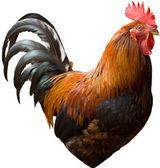 Cock profile — Stock Photo