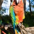 Colorful parrot — Stock Photo #2419587