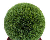 Artificial trimmed boxwood shrub — Stock Photo