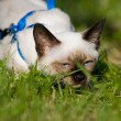 Stock Photo: Siamese cat
