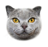 Scottish fold cat. Head — Stock Photo