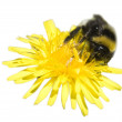Bee on a dandelion - Stock Photo
