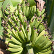Tropical bananas — Stock Photo