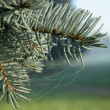 Fur-tree — Stockfoto