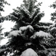 Fir in snow — Stock Photo