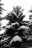 Fir in sneeuw — Stockfoto