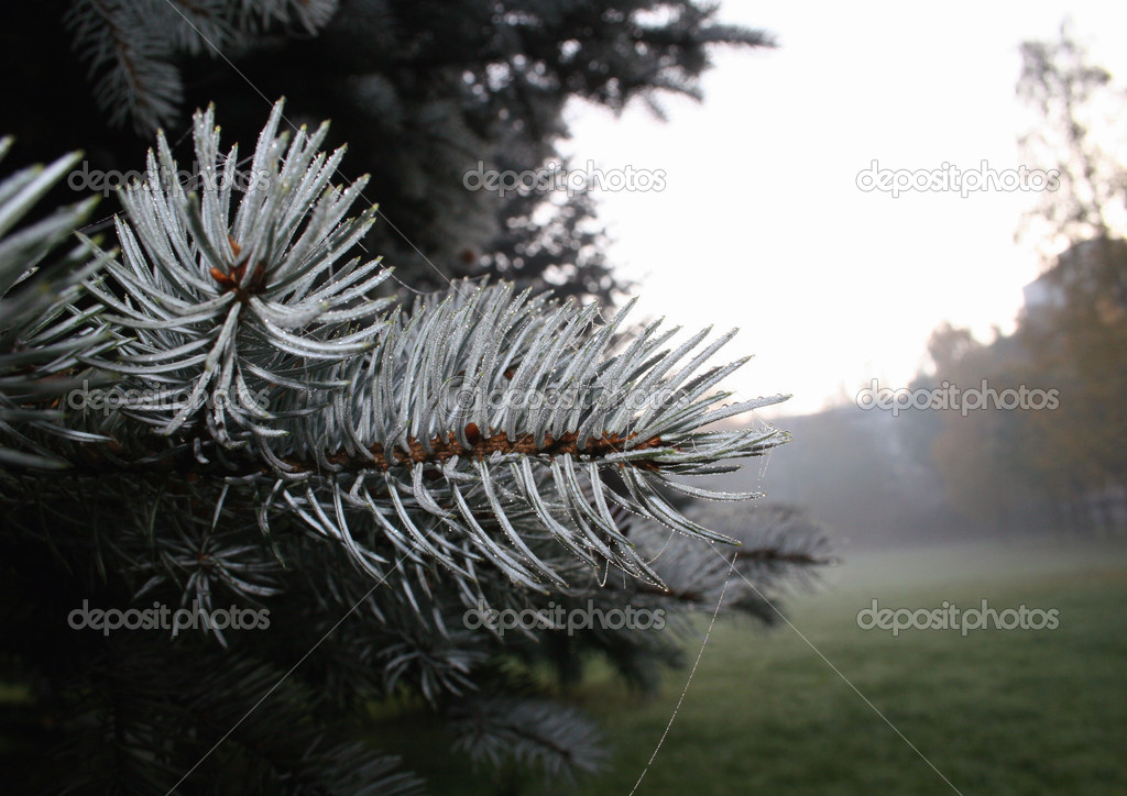 Branch of a  blue fur-tree in park. Makro — Stockfoto #2282313