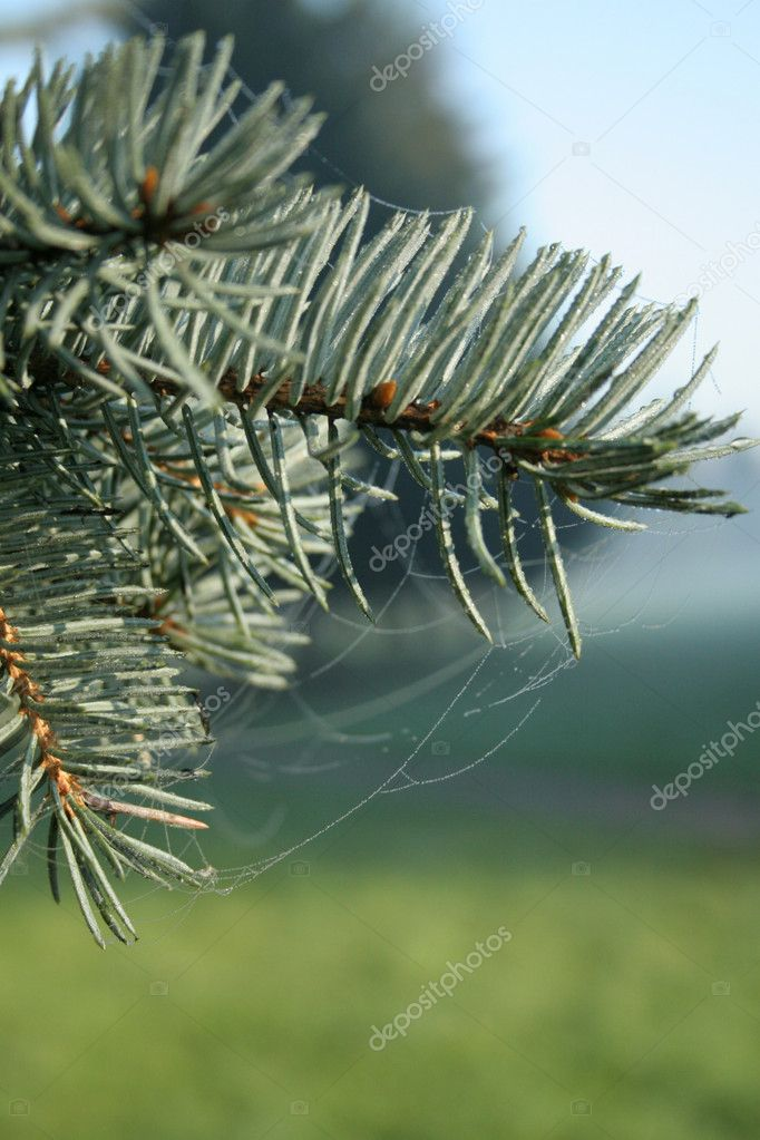 Fur-tree branch — Stock Photo #2282320