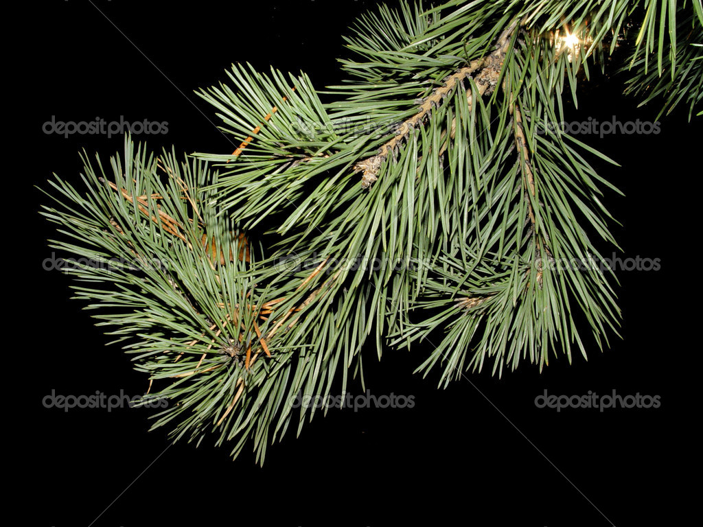 Furtree branch on a black background — Stockfoto #2282335