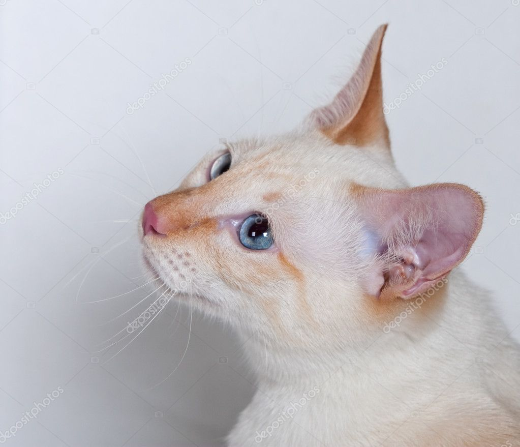 Red Point Siamese Cats Siamese Cat Red-point Color
