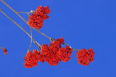 Fruits of European Rowan — Stock Photo