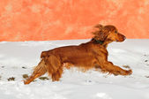 British cocker spaniel dog running — Stock Photo
