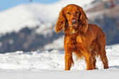 Golden cocker spaniel dog in the snow — Stock Photo