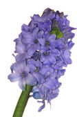Blue hyacinth flower — Stock Photo