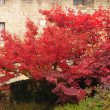 Stock Photo: Red maple in front of medieval wall