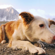 Serious looking mountain dog — Stock Photo