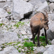 Young female Alpine Ibex - Stock Photo