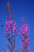 Bumble bee aanvoer en paarse bloemen — Stockfoto