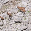 Four young female Alpine Ibexes - Stock Photo