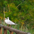 Pair of black-headed gulls - Stock Photo