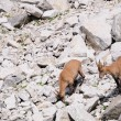 Stock Photo: Three young female Alpine Ibexes